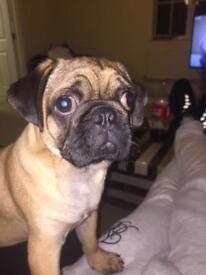 5 months old kc reg pug puppy