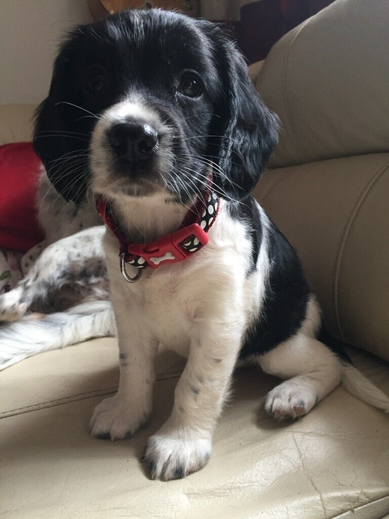 English Springer Spaniel Puppies For Sale In South East London