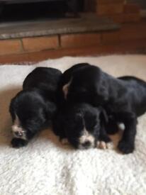 Schnocker puppies for sale