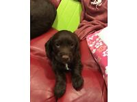 Cocker spaniel puppie for sale