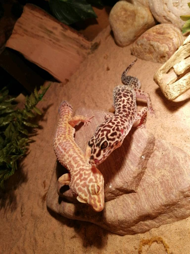 URGENT HOME NEEDED Male and female leopard geckos