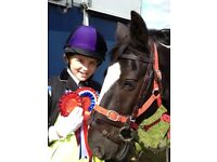 Irish cob - Dreamy by name and nature - an amazing, much loved pony