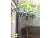 Loquat Tree (Eriobotrya Japonica) fully hardy in London 1,6m high