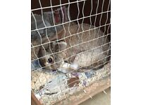 Rabbit Male for sale