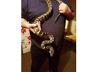 Carpet python with 3.3ftx1.8ftx2.2ft and full set up £100
