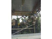 Diamond doves and Zebra finches