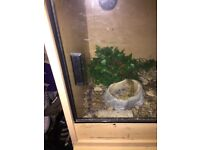 2 Leopard geckos for sale with full set up