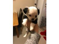 Chihuahua Puppies, 3 Males currently 6 weeks old,