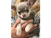 KC Quality Lilac Chihuahua's