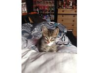 9 week old tabby kitten for sale 55 pound, fully litter trained and very affectionate and loving