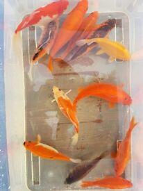 Koi/goldfish hybrids