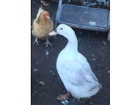 Ducks for sale