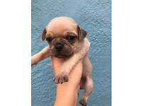 Pug 3/4 puppies