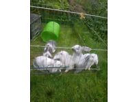 Baby mini lops for sale, BLUE, GREY EYE COLORS 5 left...AMAZING COLORS !!