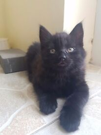 Fluffy Long hair Black kittens mixed with Main coon and British short hair blue