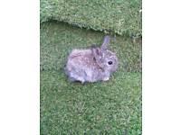 Pure Netherlands dwarf baby rabbit