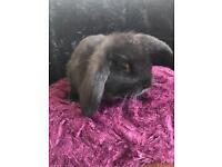 8 week old male rabbit