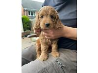 Gorgeous F1 Cockapoo Pups Golden/Red