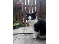 Lost/found cat in South Carbrain, Cumbernauld
