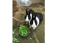 Two dutch rabbits free to a good home