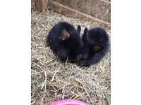 LION HAIRED BABY RABBITS FOR SALE