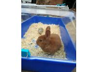 Ginger male rabbit+food+hutch...