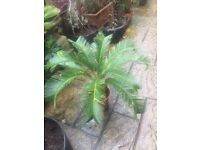 Spectacular XL Sago Palm, 6 to choose from. Lovely and established