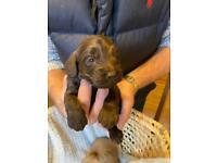 Cockapoo puppy's