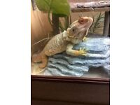 2 year old bearded dragon and full set up