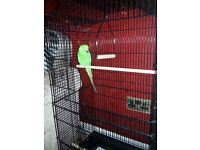 Parrot and cage for sale