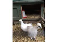 White Silkie Chickens