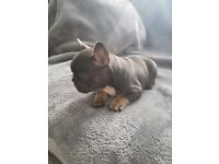 4 female french bulldogs for sale