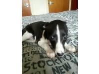 Whippet pup kc registered