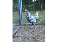 Silver Appenzeller cockerel