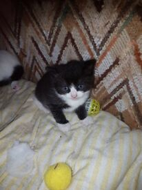 Kittens (yard kittens) 2 boys
