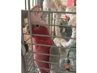 GALAH cockatoo for sale