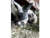 Lovely Baby lionhead rabbits