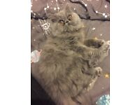 5 month old blue persian male
