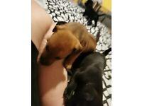 PatterJack puppies 2 left