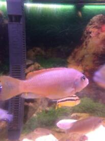 African Malawi Cichilds Fish (Acei)