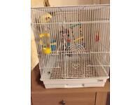 8 month old cockatiel