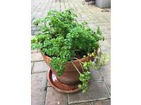 Parsley in terracotta pot with drip tray