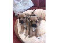 Stunning dachshund x jack Russel puppies