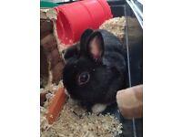 Adorable Dwarf Rabbit for free.