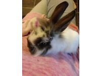 Baby lionlop/dwarf bunnies £15 each