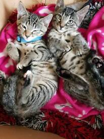 Beautiful tabby girls ready for forever homes now