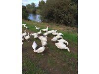 Norfolk Geese for sale. Nine Weeks old, Healthy Outdoor reared. £25