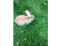 Baby Dwarf Bunny Rabbits