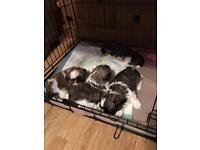 Shi tzu pups for sale