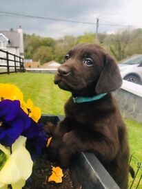 KC Labrador puppies for sale